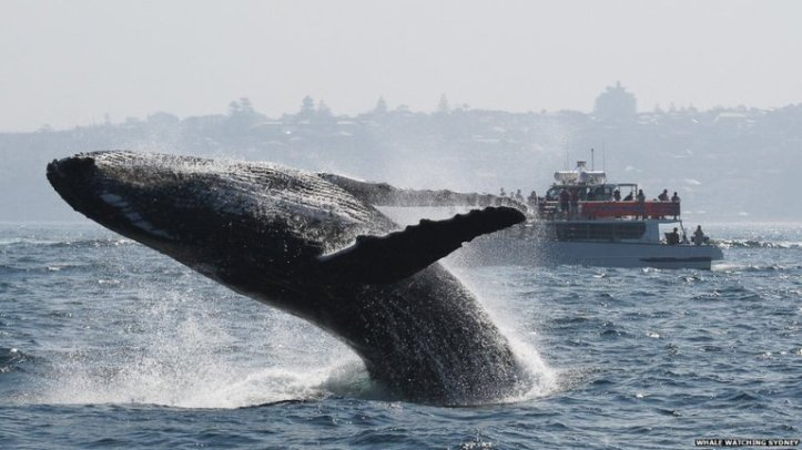 A humpback whale breaching (source - BBC News)