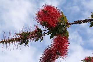 Red Bottlebrush (source – HeatherC)