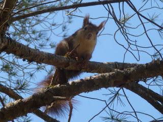 A red squirrel (source – HeatherC)