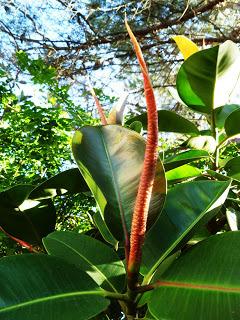 Rubber Plant (source – HeatherC)