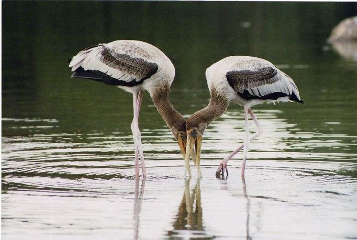 kokker-bellur-bird-sanctuar